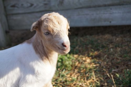 farmer goat kid