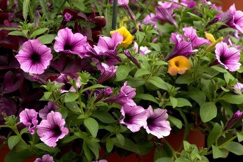 farmers market petunias  farmers market flowers  market