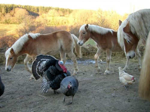 arkliai, Turkija, višta, kiemas, kaimas, ūkis, Haflinger, lauko kiemas