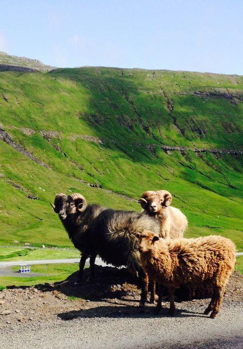 faroeislands sheeps nature