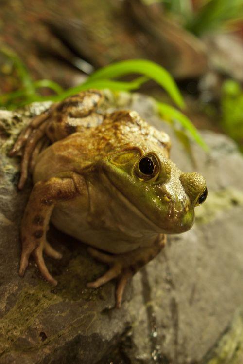 fat frog fat frog