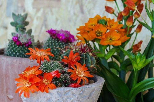 riebalai,sultingas augalas,mammellaria,sultingas,crassulacea,gėlės,erškėčių,sultiniai