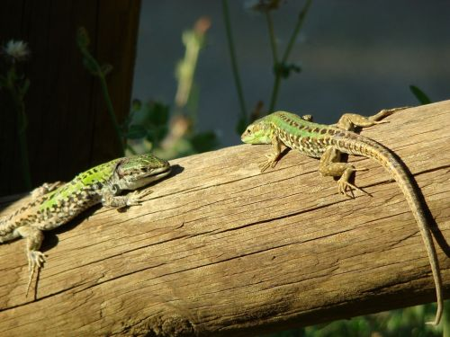 fauna lizard reptile