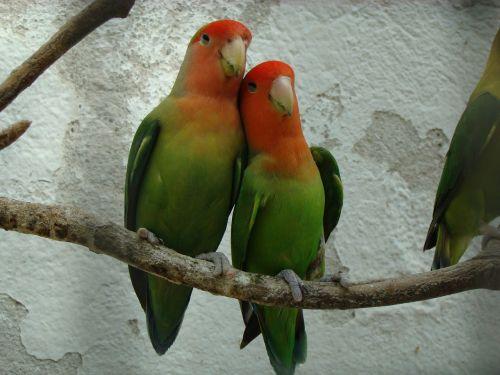 fauna inseparable bird