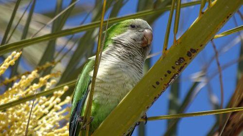fauna birds parakeet
