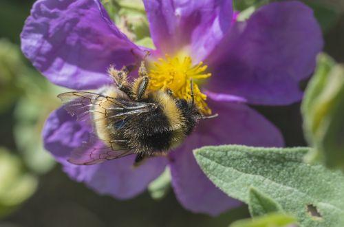 fauna campestre bee