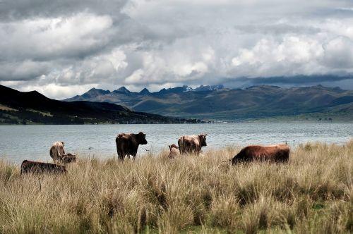 fauna peru cows