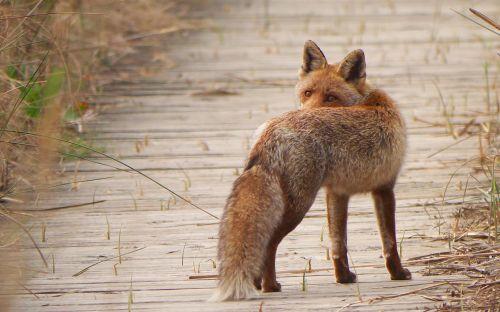 fauna predator fox
