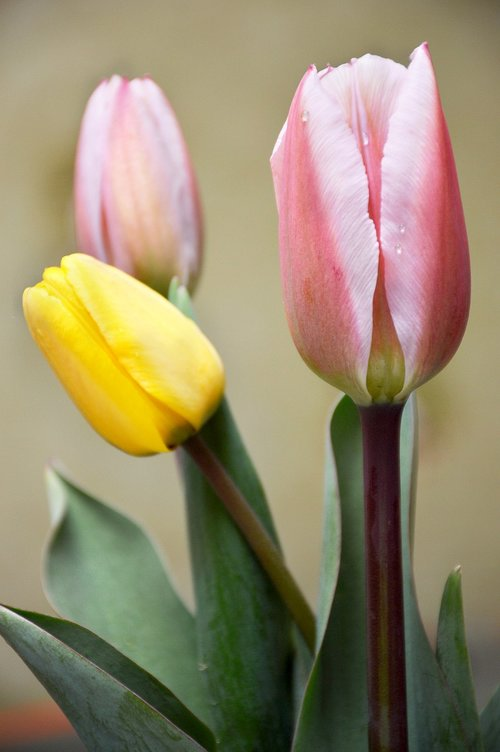 favorite  tulips  spring