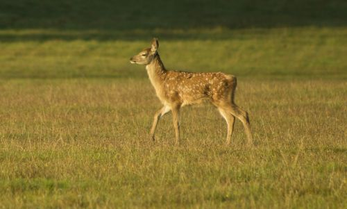 fawn bambi cute