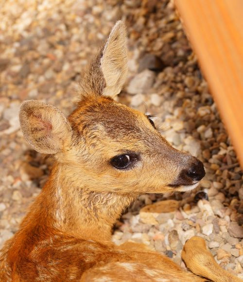 fawn young small