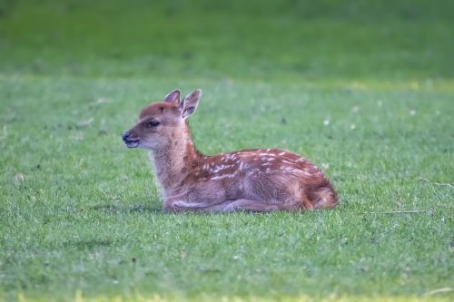 fawn young deer animal