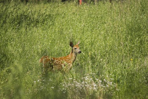fawn  nature  young