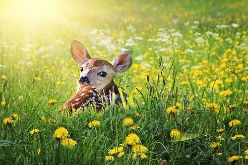 fawn  deer  baby