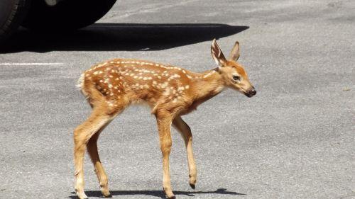 fawn deer doe