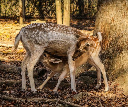 fawn feeding doe hind