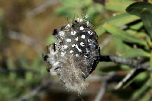 feather guinea fowl black