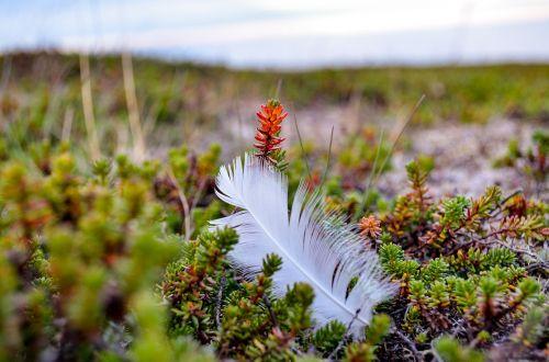 plunksna,plunksniniai paukščiai,gamta,vasara,kraštovaizdis,finnmark,Šiaurės Norvegija,Norvegija
