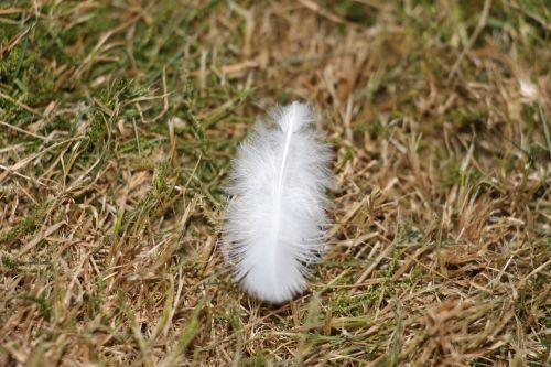feather white bird feather
