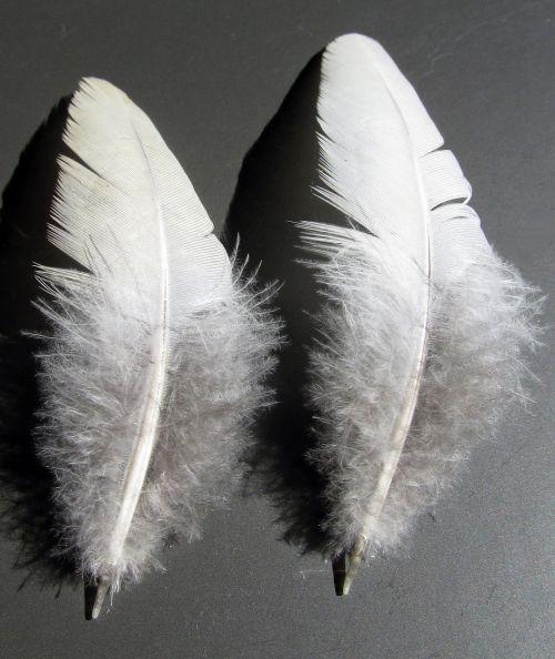 feather bird quill