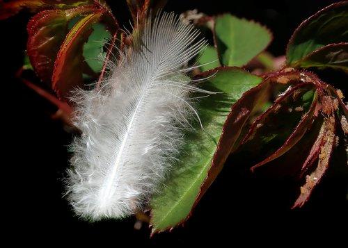 feather  downy  rose bush