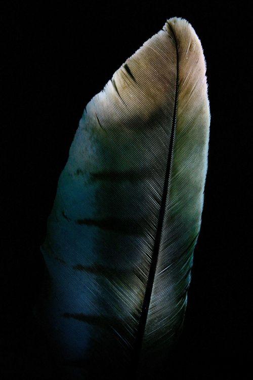 feather raptor milan