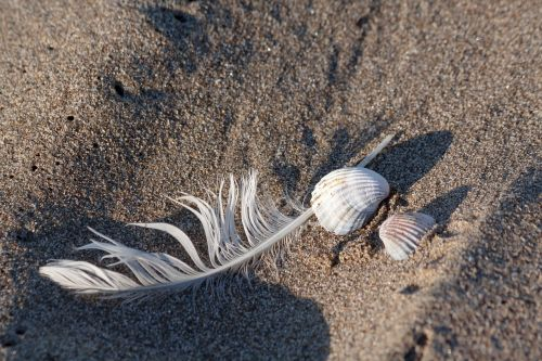 feather shell sea