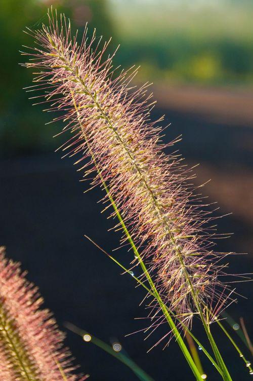 fountain grass grass dewdrop