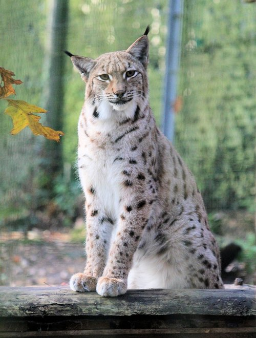 feature  the eurasian lynx  beast