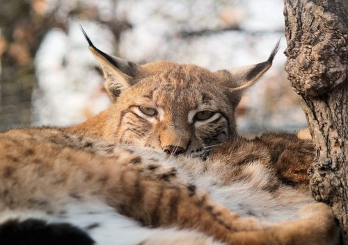 feature  the eurasian lynx  lying