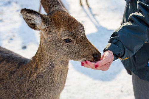 maitinti,maistas,maitinimas,maitinimas,stiragai,raudonas elnias,zoologijos sodas,žiema,badas,maitinimo vieta
