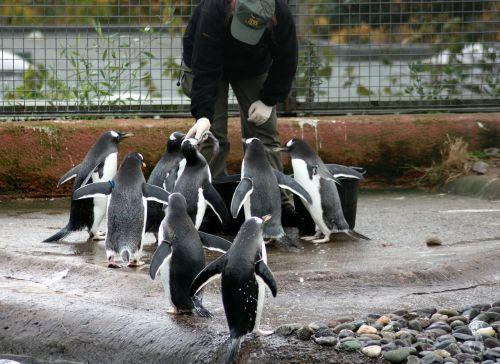 feeding penguins birds