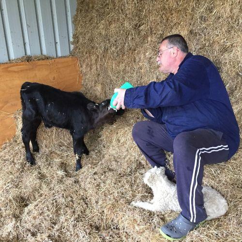 feeding calves farm baby calf