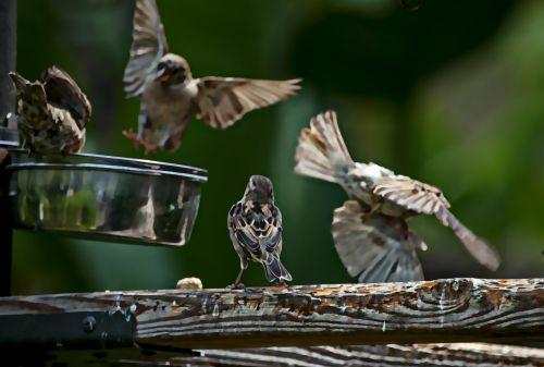 Feeding Sparrows