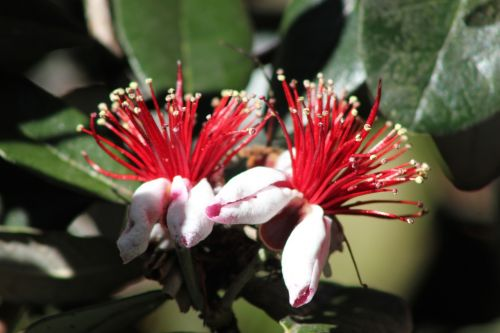 feijoa fruit tropical