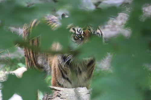 feline tiger hide and seek
