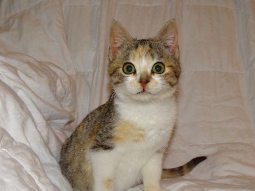 feline kitten female