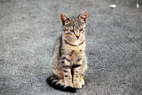 feline  wildcat  animals