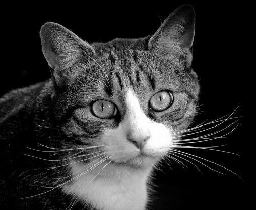 kačių, katė, purus, mielas, kačiukas, žinduolis, kailis