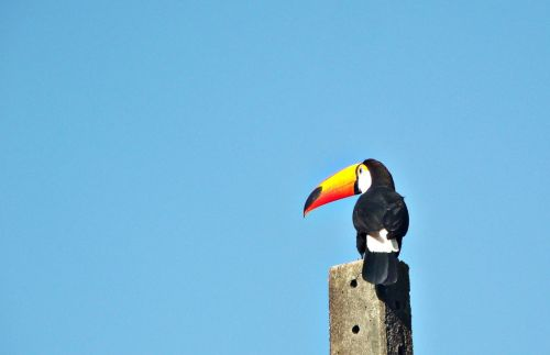 felipe bueno tucano bird