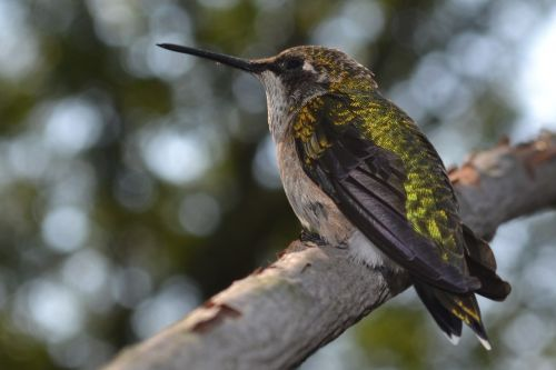 female ruby-throated hummingbird hummingbird