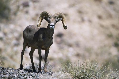 female sheep bighorn