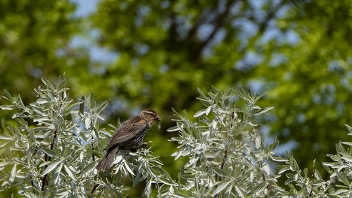 female  redwing blackbird  with insect
