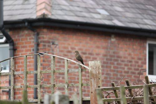 tvora, paukščiai, paukštis, juoda paukštis, juoda & nbsp, paukštis, moteriškas juodas paukštis ant tvoros