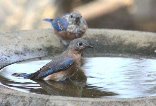 Female Bluebird In Bird Bath