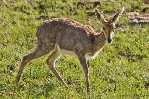 female buck doe deer