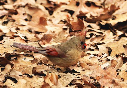 Female Cardinal In Leaves