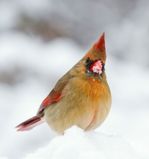 Female Cardinal In The Snow
