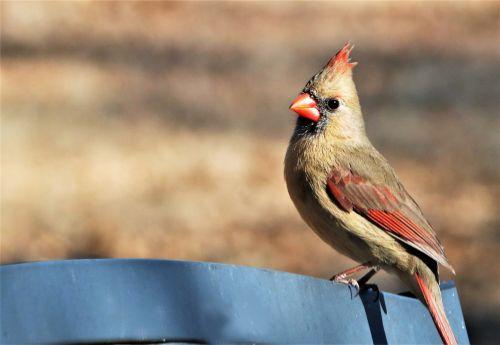 Female Cardinal On Bench Background