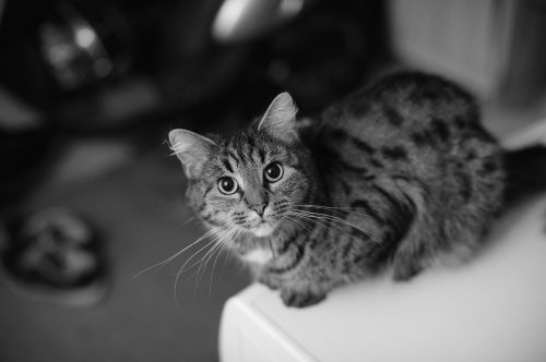 female cat portrait gray-striped cat
